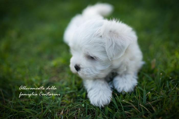 i nostri cani di razza maltese | canimaltesi.it