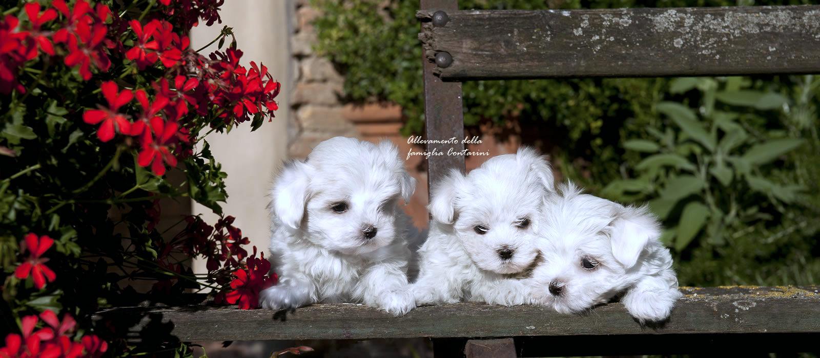 vendita cuccioli di cani toy di razza, cani di tutti i tipi, cuccioli di